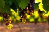 Champagne bio : l'étude secrète qui embarrasse